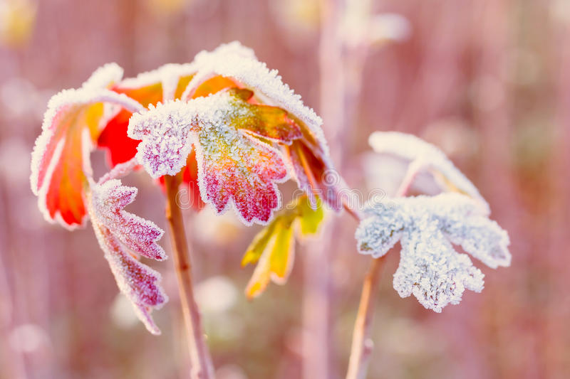 Frozen autumn leaves royalty free stock image
