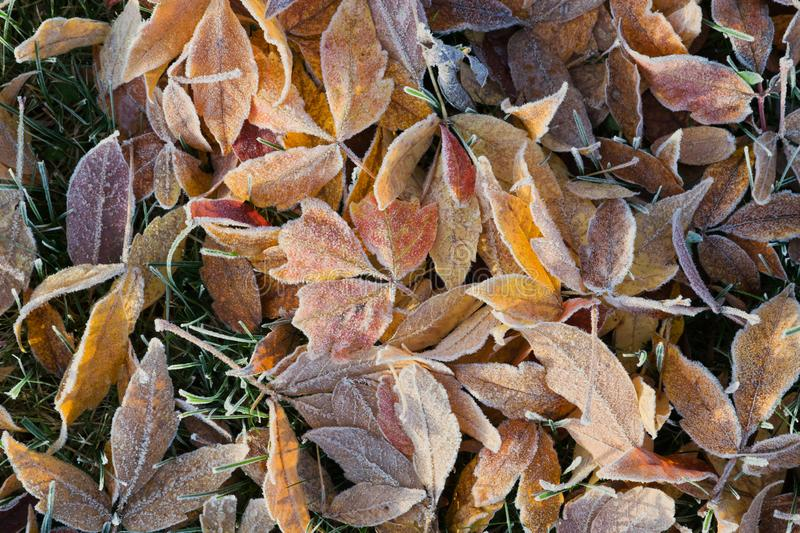 Frozen autumn leaves. Colorful frozen fallen leaves, autumn background royalty free stock photography