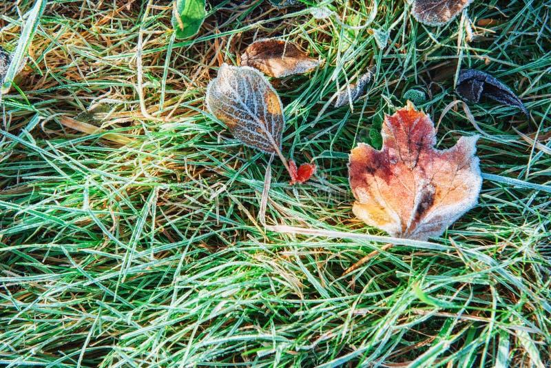 Frozen autumn leaves on the green grass,. Frozen autumn leaves on the green grass royalty free stock photo