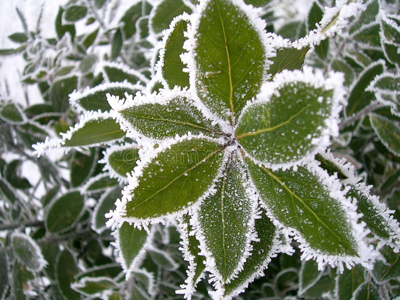 Frozen bay leaves royalty free stock photo