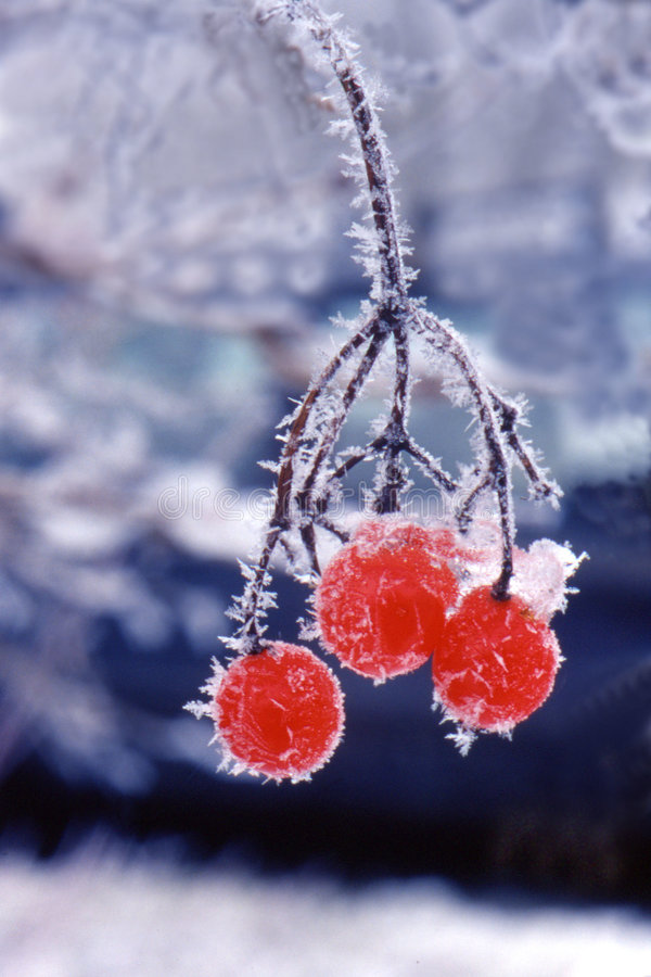 Frozen berries royalty free stock image