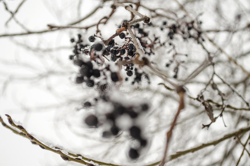 Frozen berries on a branch. Against the backdrop of overcast sky stock images