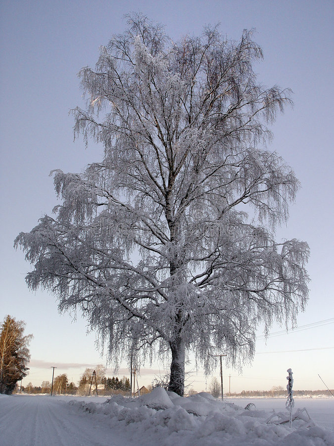 Frozen Birch Stock Photography