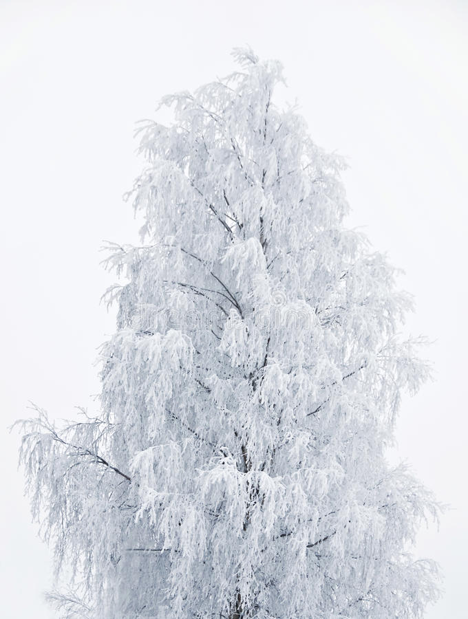 Frozen Birch Tree Isolated On White royalty free stock photo