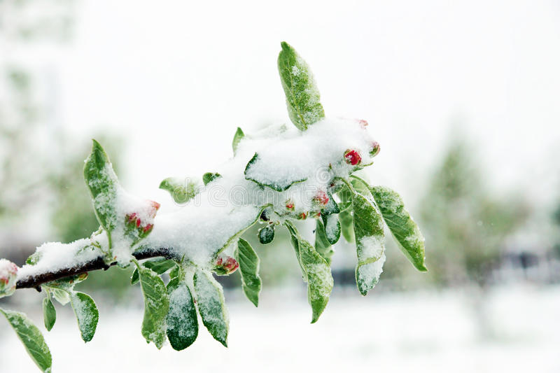 Frozen branches of a blossoming apple tree covered with snow stock photo