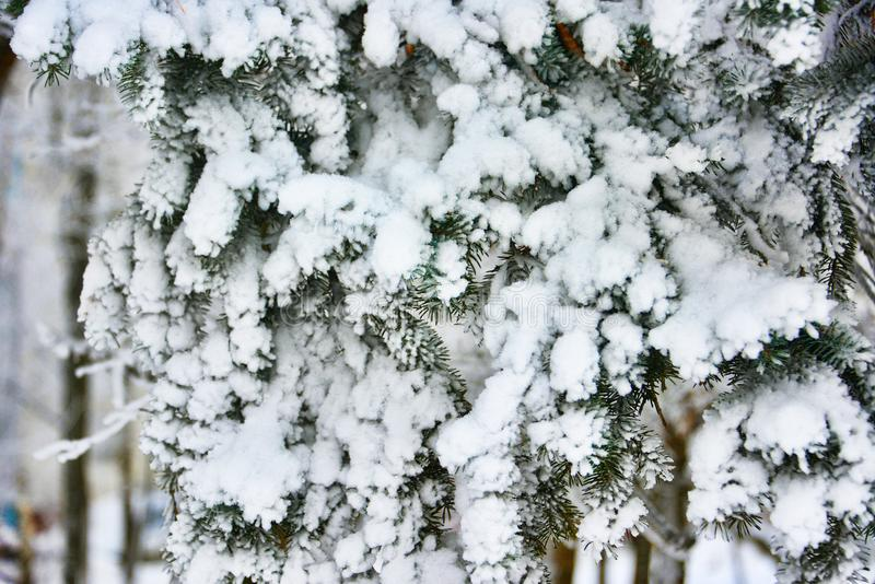 Frozen branches of pines in the forest stock image