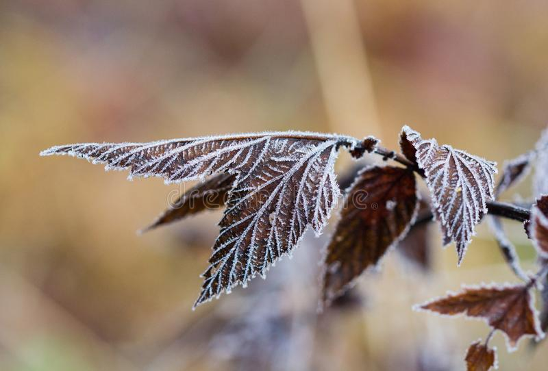 Frozen brown plants in winter with the hoar-frost in the early morning light stock images