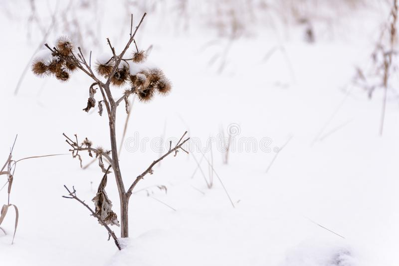 Frozen burdock plant on the background snow royalty free stock image