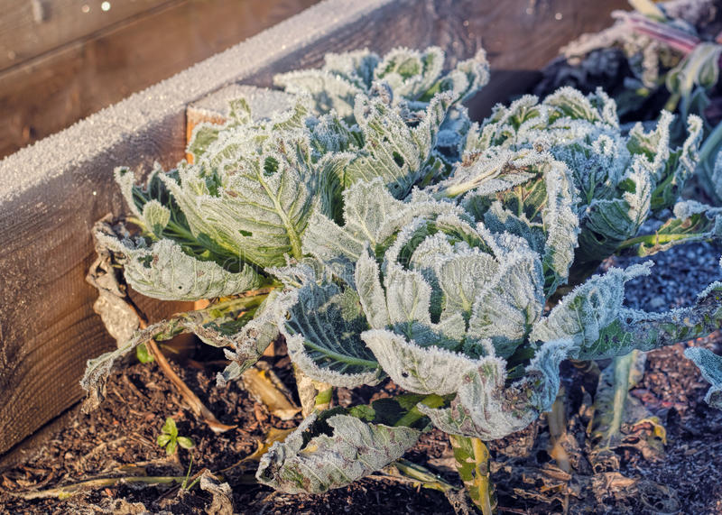 Frozen Cabbages Vegetable Garden Winter. Raised Beds Cold Sunlight stock photos