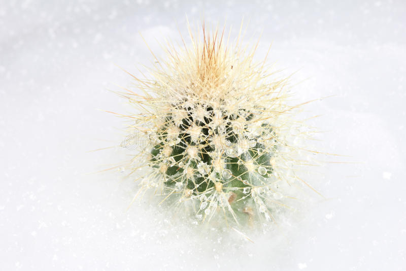Frozen Cactus On Ice Stock Images