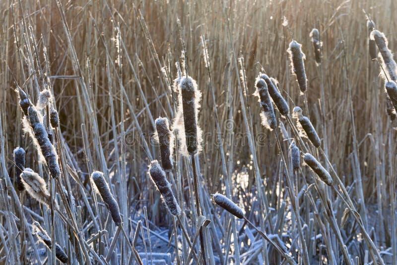 Download Frozen Cattai stock photo. Image of common, grass, broadleaf - 26305514