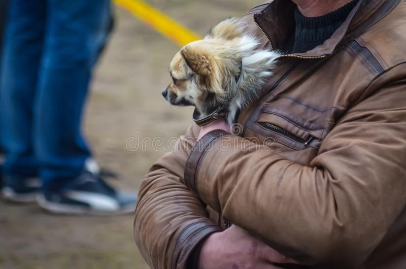Frozen chihuahuas are warmed under the warmth of their own bodies under a men`s leather jacket. Real Love for Animals. stock photo