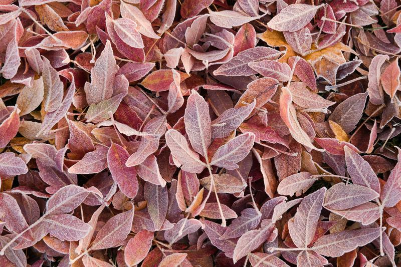 Frozen leaves. Frozen colorful leaves fallen to ground after cold night, autumn background royalty free stock photo