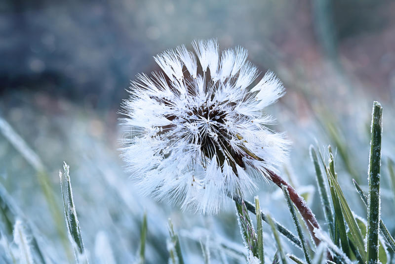 Frozen Dandelion. A dandelion seed head with a coating of frost in the morning stock image