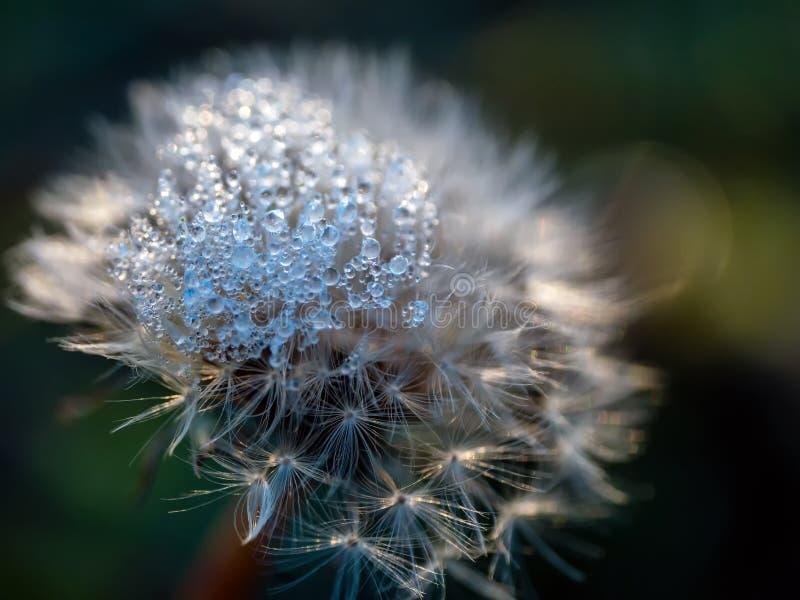 Frozen dew drops on a dandelion flower at sunrise stock photos