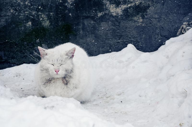 Frozen dirty white cat sitting in the snow on the background of the shabby blue wall. Animal pet backdrop nature wallpaper royalty free stock image