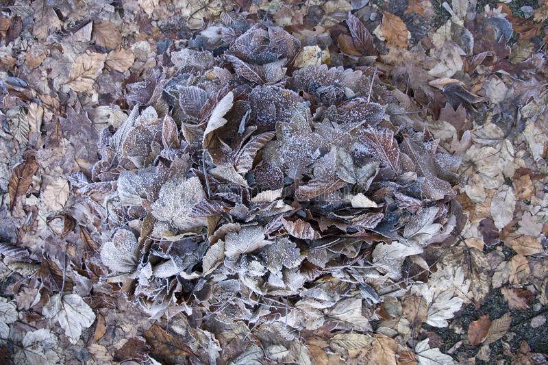 Frozen dry leaves. Frozen leaves completely cover the ground stock image