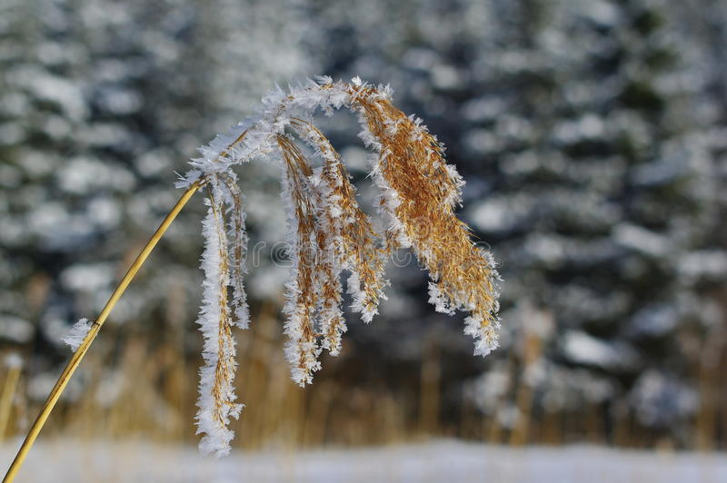 Frozen dry reed stock image