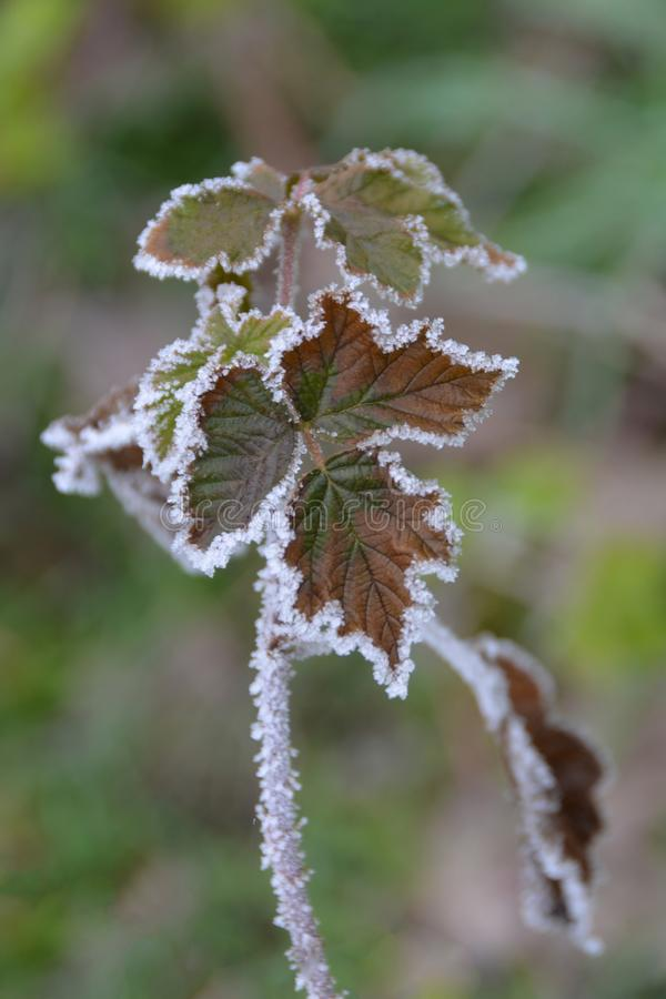 Frozen edges of leaves. On the tree in forest royalty free stock photos