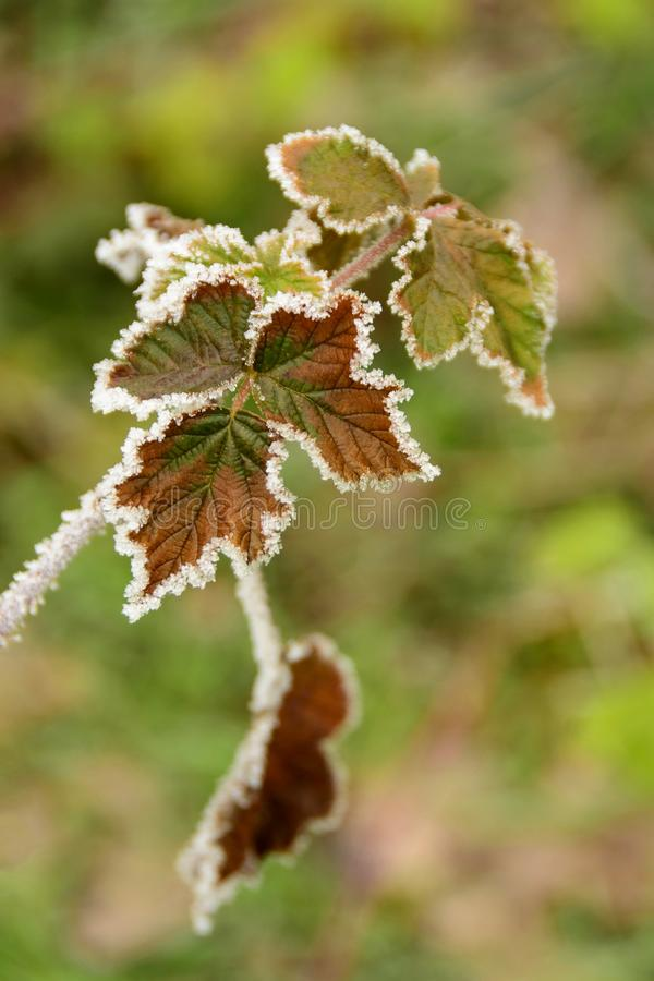 Frozen edges of leaves. On the tree in forest royalty free stock photo