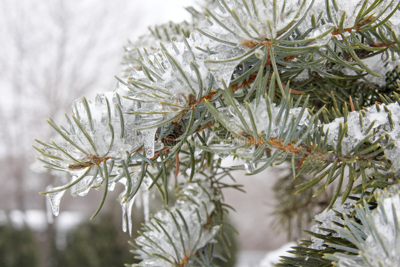 Frozen Evergreen Branch Royalty Free Stock Image