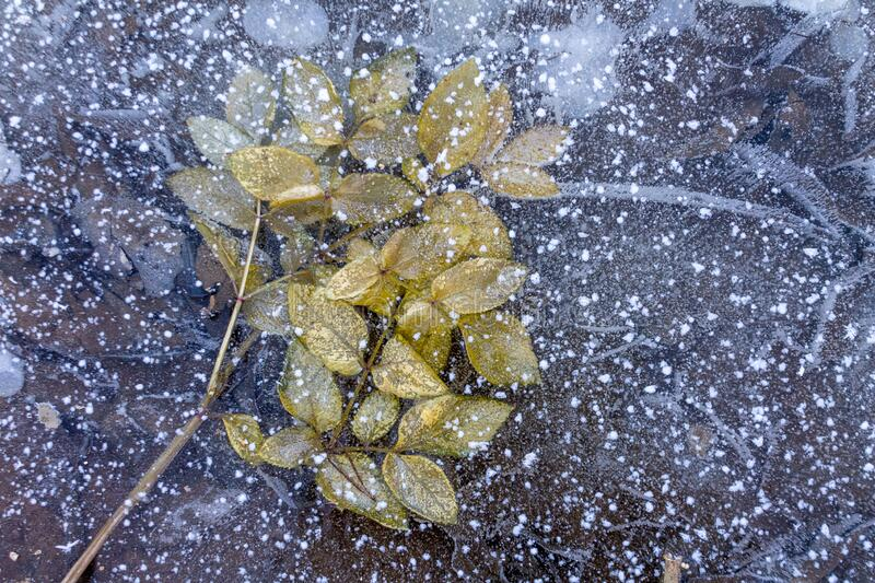 Frozen fallen leaves in water crystals in nature during cold weather, the onset of winter, weather forecast for frost. Winter is coming stock photos