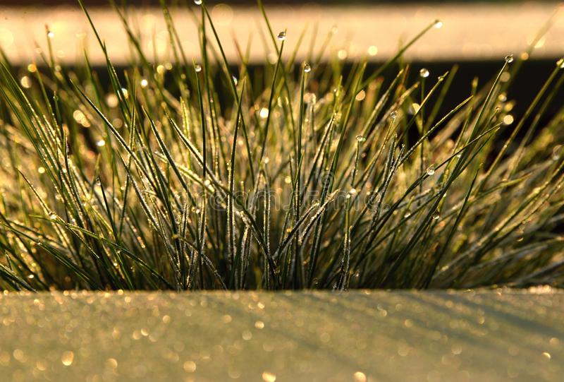 Frozen Fescue. Decorative fescue grass and frozen royalty free stock images