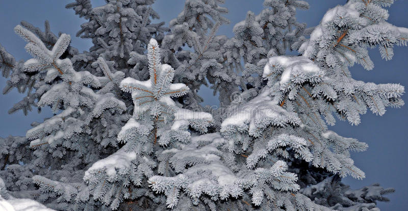 Frozen fir stock photography