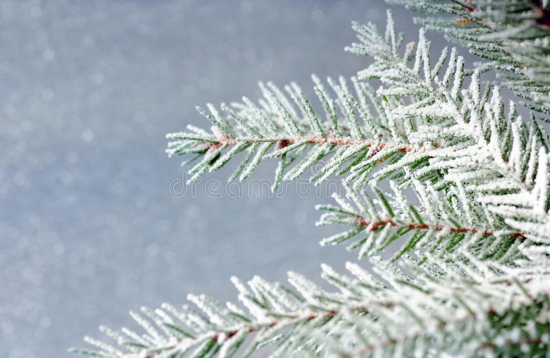 Download Frozen Fir Branch Royalty Free Stock Photography - Image: 10884927