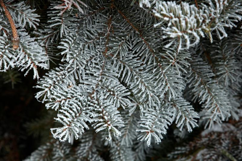 Frozen Fir-needles Royalty Free Stock Images