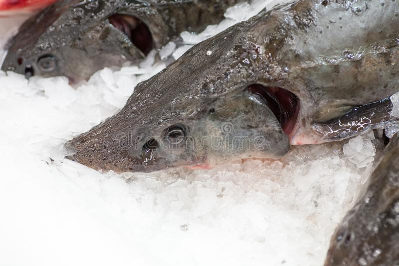 Frozen fish. Freshfish market. Gilt-head bream. Fish sale in market. Sea bream fish on ice. Fresh fish on ice for sale. Frozen ice-cold fish in the store Frozen royalty free stock photos