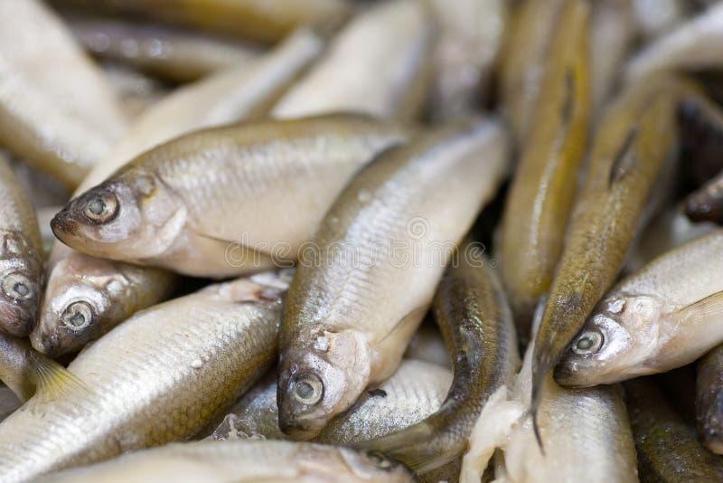 Frozen fish. Freshfish market. Gilt-head bream. Fish sale in market. Sea bream fish on ice. Fresh fish on ice for sale. Frozen ice-cold fish koryuska in the stock image