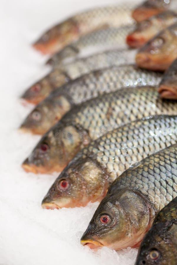 Frozen fish. Freshfish market. Gilt-head bream. Fish sale in market. Sea bream fish on ice. Fresh fish on ice for sale. Frozen ice-cold fish in the store Frozen stock photography