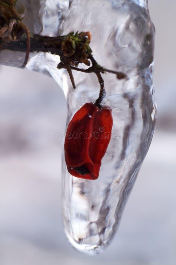Free Frozen Flower Bud Royalty Free Stock Image - 2077706