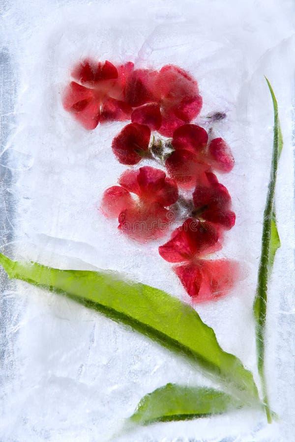 Frozen flower of geranium royalty free stock photo