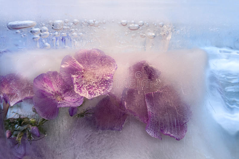Frozen flower of phlox. Frozen fresh beautiful flower of phlox and air bubbles in the ice cube stock images