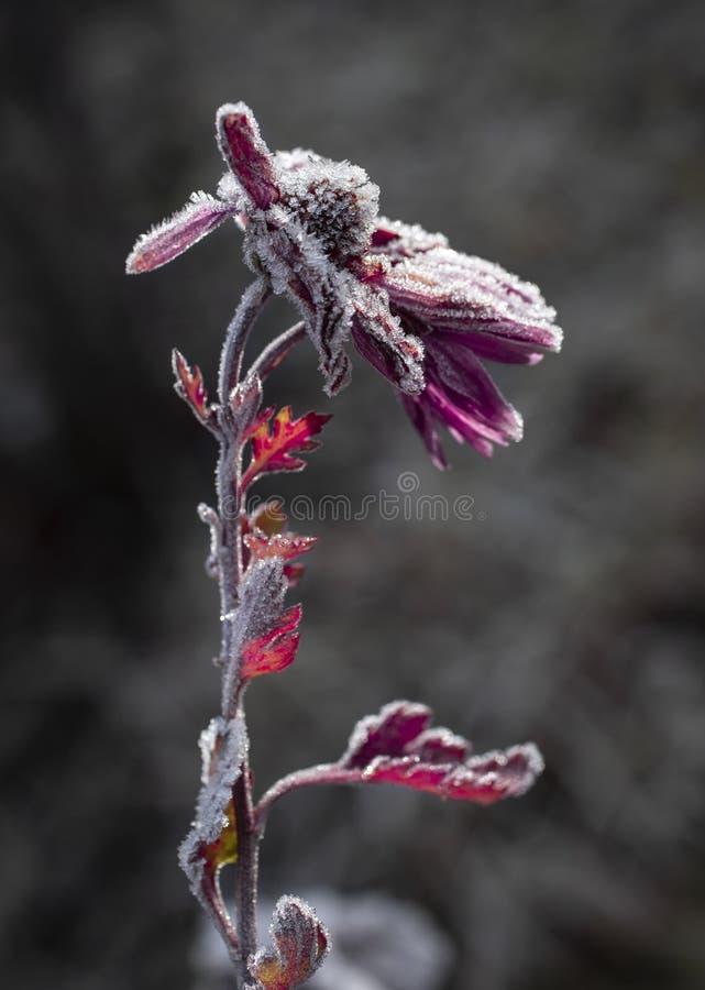 Frozen Flower stock image