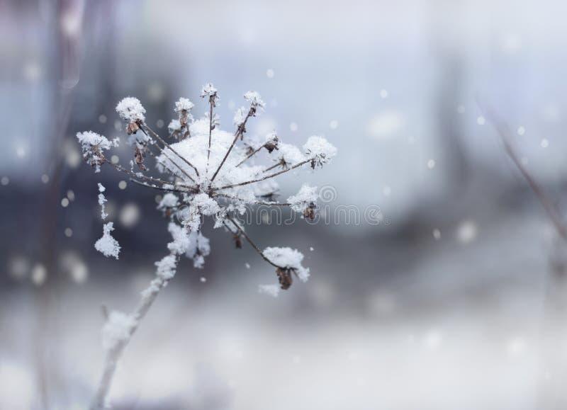 Frozen flower twig in winter snowfall royalty free stock image