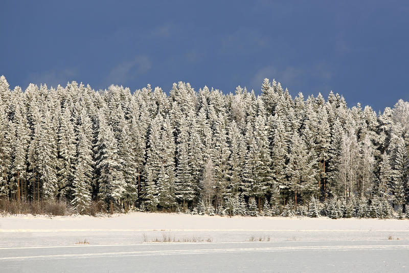 Frozen Forest stock image