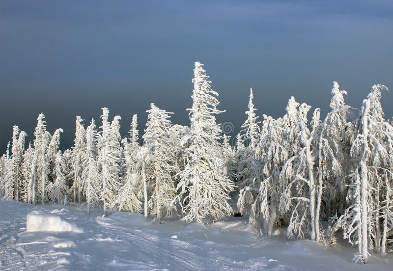 Frozen forest in sunlight royalty free stock images