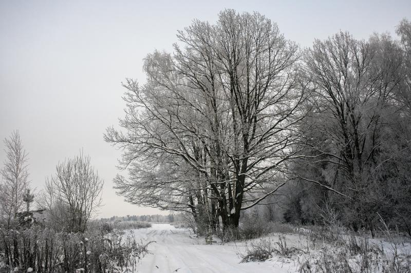 Frozen gloomy winter forest.The mighty oak,the branches of the trees covered with snow and frost royalty free stock photography