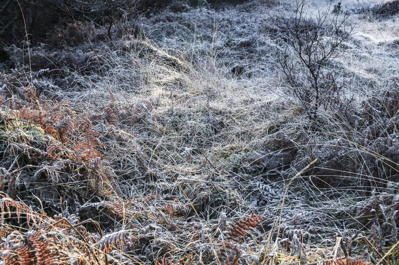 Frozen Grass and Ferns. Hoar frost covering the grasses and trees around the Glenfinnan Viaduct, Argyll, Scotland royalty free stock photo