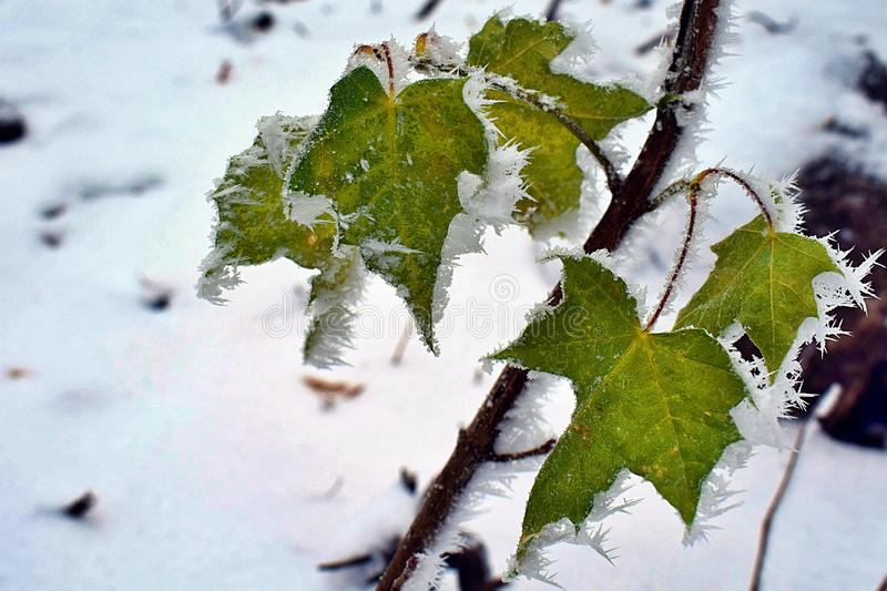 Frozen green leaves in the winter. Frozen green leaves with ice and snow in the winter royalty free stock photos