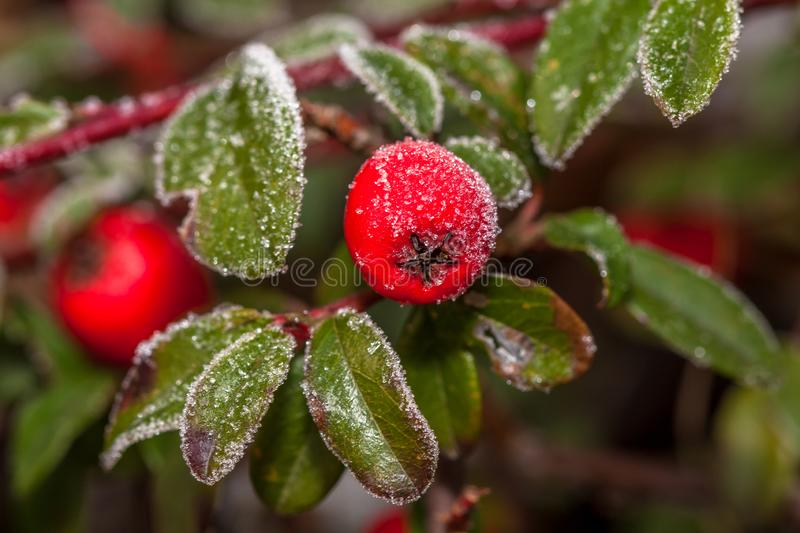 Frozen holly berrie stock images