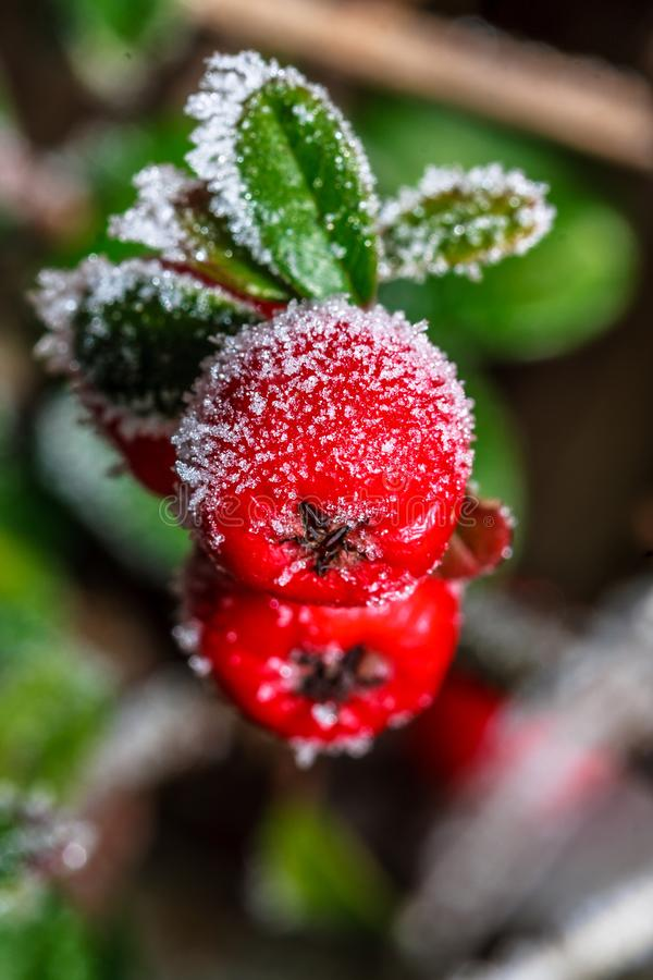 Frozen holly berrie stock photos
