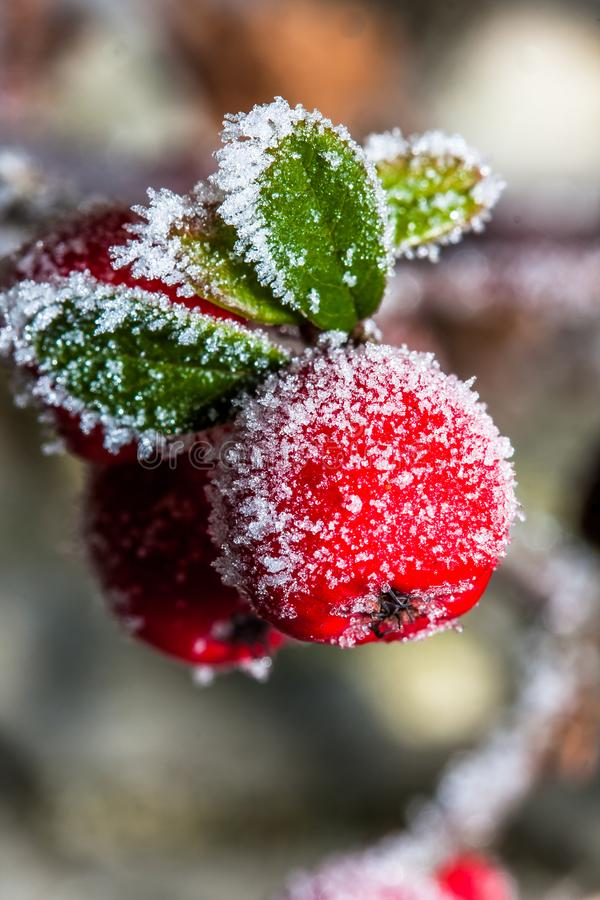 Frozen holly berrie stock image