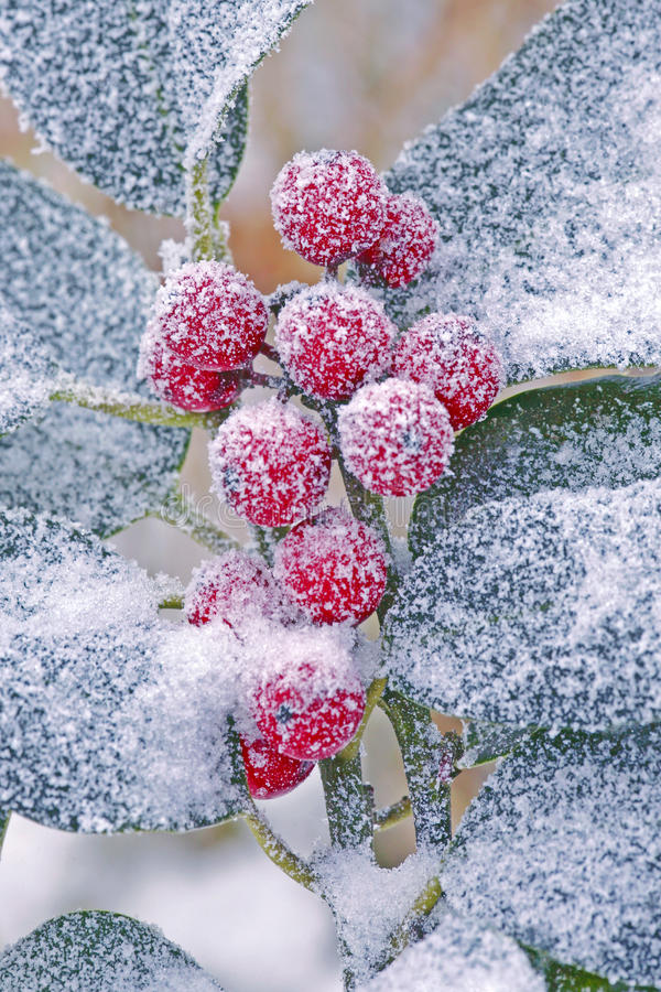 Frozen Holly Branch royalty free stock image