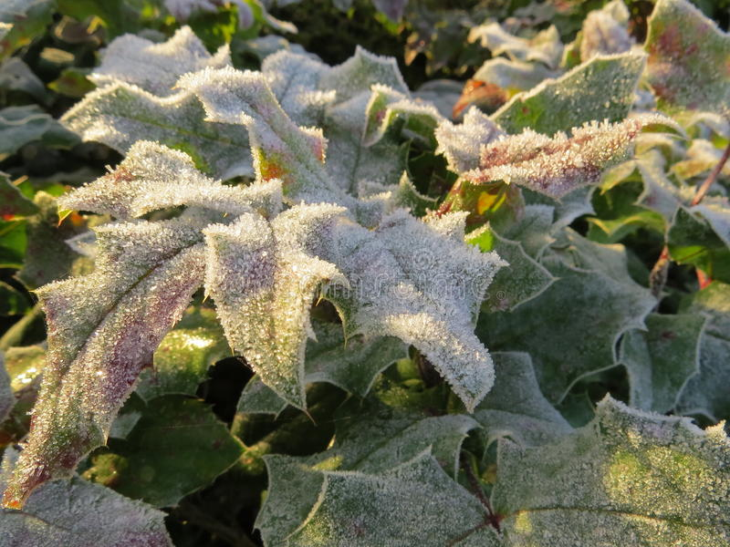 Frozen holly leaves in the sun royalty free stock photo