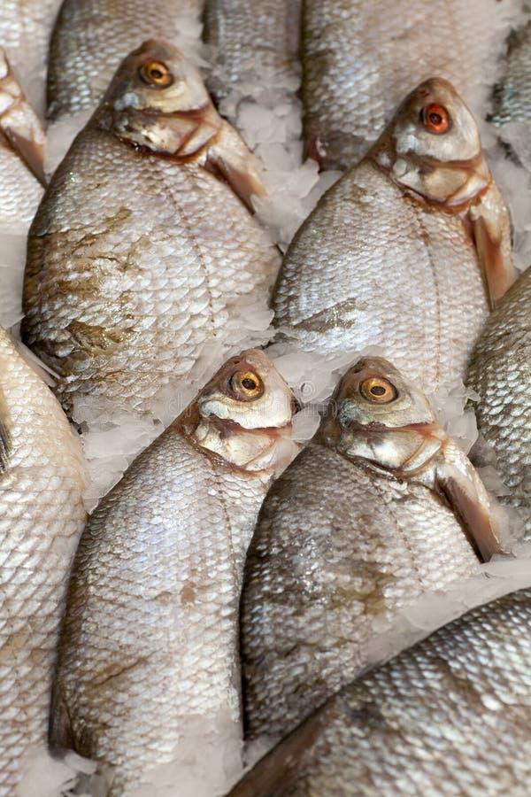 Frozen fish. Freshfish market. Gilt-head bream. Fish sale in market. Sea bream fish on ice. Fresh fish on ice for sale. Frozen ice-cold fish in the store Frozen royalty free stock photo