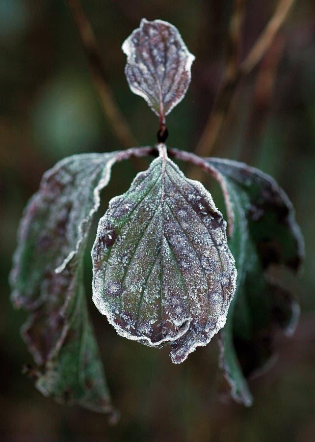 Free Frozen Leaf Stock Photo - 1582000